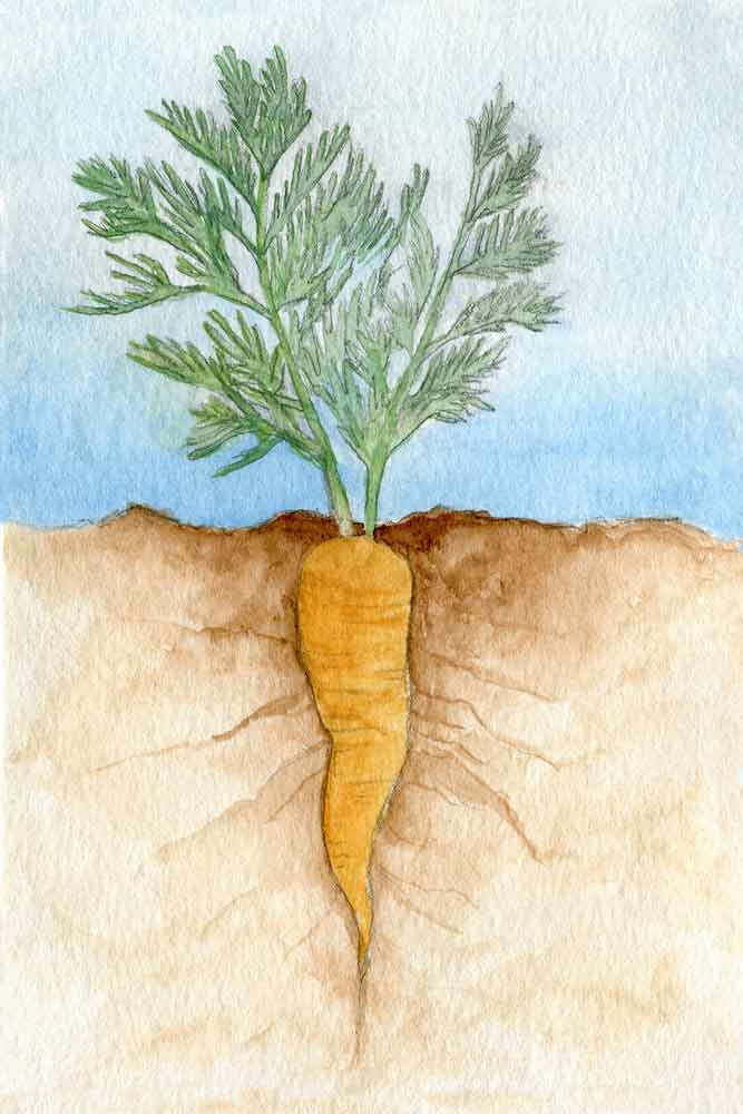 Roots: Carrot