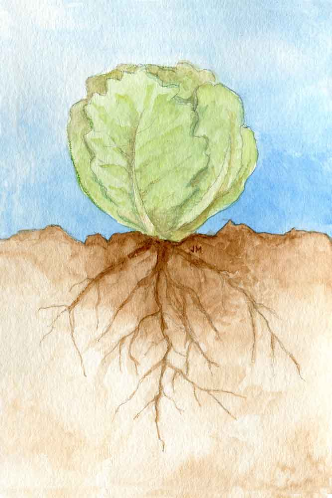 Roots: Lettuce
