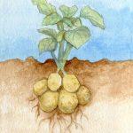 Roots: Potato