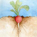 Roots: Radish